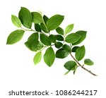 spring twig with green leaves... | Shutterstock . vector #1086244217
