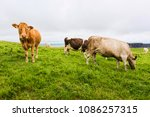 Landscapes Of Ireland. Cows...