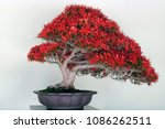 Beautiful Bonsai Tree With Ful...