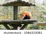 Small photo of Red panda (Ailurus fulgens fulgens) creeps up the tree and wooden house.