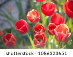 beautiful red real live tulips... | Shutterstock . vector #1086323651