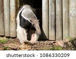 the giant anteater ... | Shutterstock . vector #1086330209