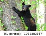 Black Bear Cub In Cades Coves...