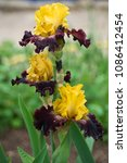 Colorful Irises In The Garden...