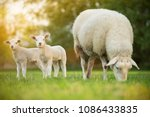 cute little lambs with sheep on ... | Shutterstock . vector #1086433835