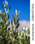 Green Olive Tree Branch With...