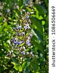Small photo of Mytilene Rotheca with flower in the garden