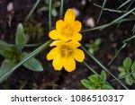 Early Yellow Flowers Crocus...