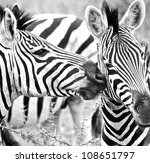 zebra kisses in south africa | Shutterstock . vector #108651797