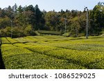 rows of tea plants cover the... | Shutterstock . vector #1086529025