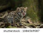 leopard cat is wild animal live ... | Shutterstock . vector #1086569087