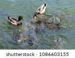 a pair of male mallard ducks... | Shutterstock . vector #1086603155