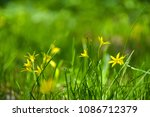 gagea flowers in grass | Shutterstock . vector #1086712379