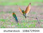 Pair Of Beautiful Blue Tailed...