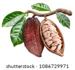 open cocoa pod with cocoa seeds ... | Shutterstock . vector #1086729971