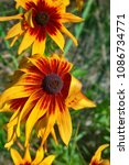 Small photo of Florescence of rudbeckia red (purple coneflower, Black-eyed Susan) in flower bed. North America flowers