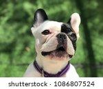 french bulldog talk | Shutterstock . vector #1086807524