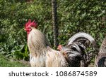 handsome colorful rooster or... | Shutterstock . vector #1086874589