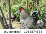 handsome colorful rooster or... | Shutterstock . vector #1086874595