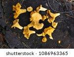 mushrooms chanterelles on a...   Shutterstock . vector #1086963365