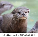close up of a short clawed otter | Shutterstock . vector #1086964571