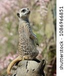 close up of a meerkat on sentry ... | Shutterstock . vector #1086966851