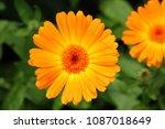 orange flower of calendula...   Shutterstock . vector #1087018649
