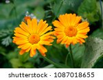 orange flower of calendula...   Shutterstock . vector #1087018655