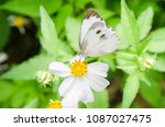butterfly on white flower with... | Shutterstock . vector #1087027475