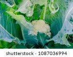 cauliflower in the summer... | Shutterstock . vector #1087036994