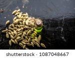 raw organic green cardamom or...   Shutterstock . vector #1087048667