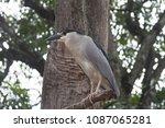 black crowned night heron ... | Shutterstock . vector #1087065281