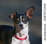 rat terrier in the hot sun on a ... | Shutterstock . vector #1087072244