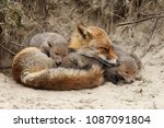 Mother Red Fox And Her Newborn...