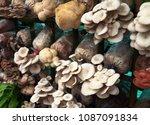 mushroom cultivation is... | Shutterstock . vector #1087091834