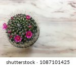 cactus  is have pink small... | Shutterstock . vector #1087101425