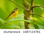 ruddy tailed flycatcher is a... | Shutterstock . vector #1087114781