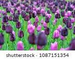 Beautiful Blooming Tulips In...