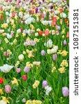 beautiful blooming tulips in... | Shutterstock . vector #1087151381