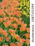 beautiful blooming tulips in... | Shutterstock . vector #1087151399