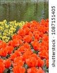 beautiful blooming tulips in... | Shutterstock . vector #1087151405