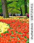 beautiful blooming tulips in... | Shutterstock . vector #1087151411