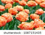 beautiful blooming tulips in... | Shutterstock . vector #1087151435