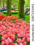 beautiful blooming tulips in... | Shutterstock . vector #1087151441