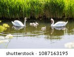Small photo of Swan family. Father swan mother swan and baby chicks children kids swans. Birds floating on water in a pond in the reeds. A symbol of fidelity, love and tenderness.