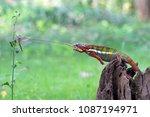chameleon  panther  chameleon... | Shutterstock . vector #1087194971