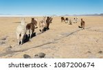 llamas in the vicinity of tahua ... | Shutterstock . vector #1087200674