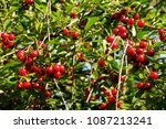 cherry tree with ripe sour... | Shutterstock . vector #1087213241