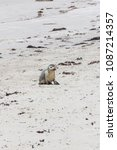 baby sea lion on the beach of... | Shutterstock . vector #1087214357