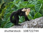 An Adult White Faced Capuchin...